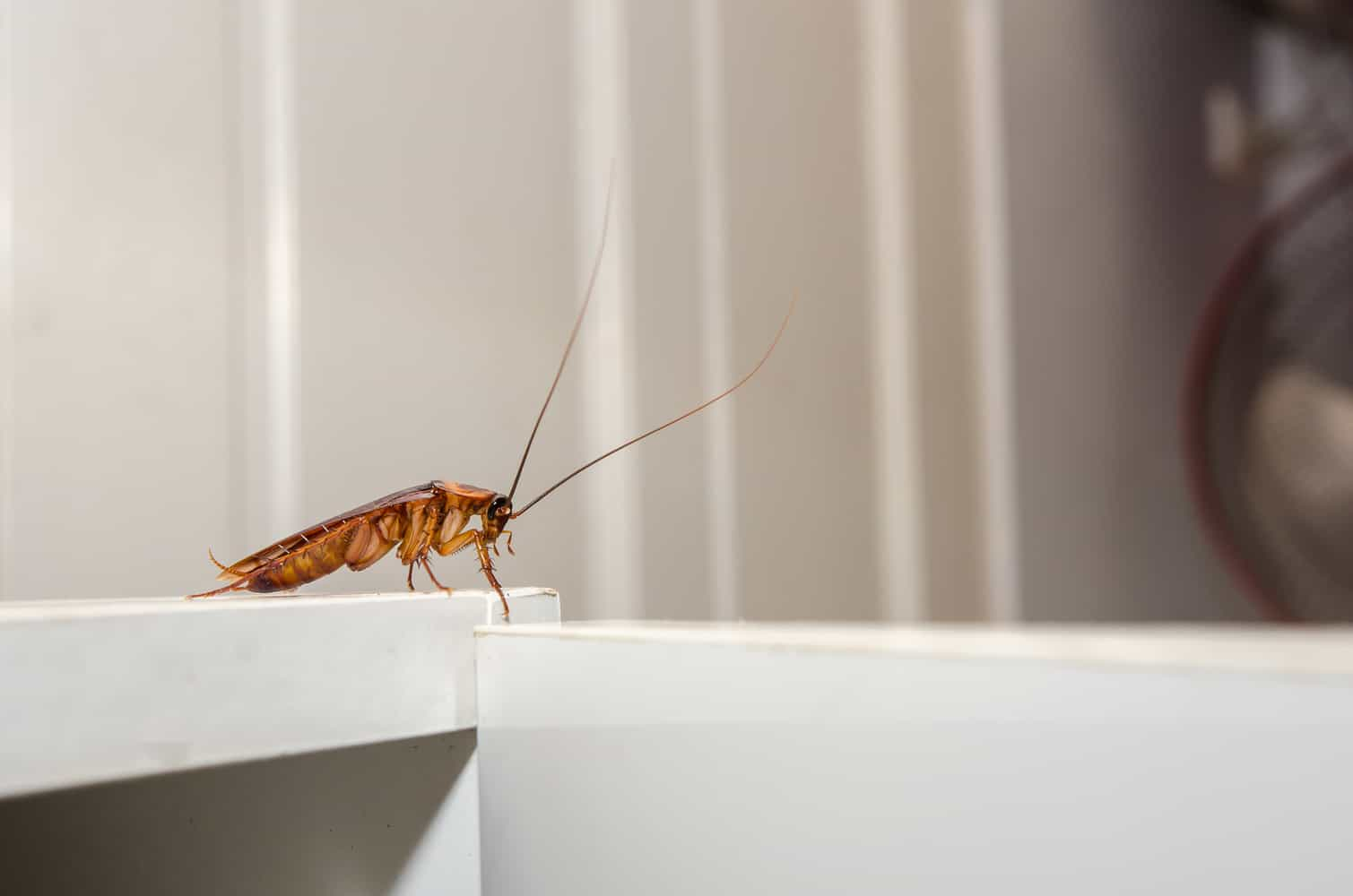 Cockroach glue trap
