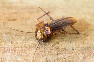 cockroach poop