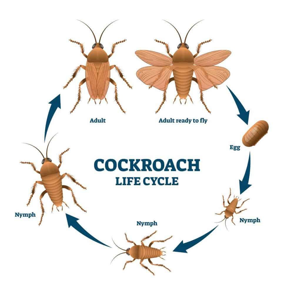 Lifecycle of cockroach