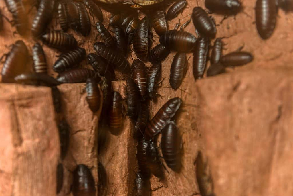 Cockroach nest